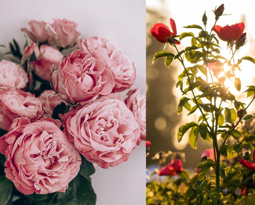 PIERRE_GUILLAUME_PARIS_PARFUM_CONTEMPLATION_BAGATELLE-ROMA-Parfum Roses anciennes, Feuilles de Cassis, Pétrichor, Pluie, Essence et cuir